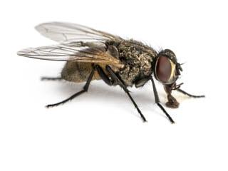 Flies Pest Control