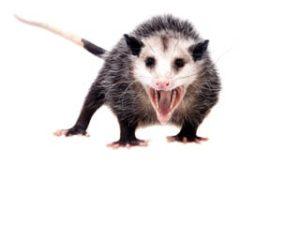 possum removal Melbourne