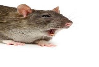 How To Get Rid Of Rodents From Your Property?