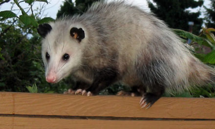 Tips & Tricks to Keep Possums Away from your Property