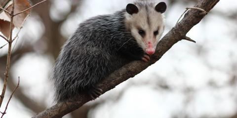 Little Known Facts About Possum Control