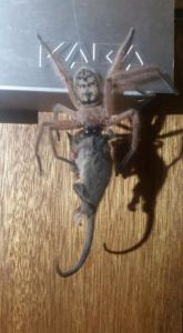 Rare Photo Of Huntsman Spider Devouring Pygmy Possum Goes Viral