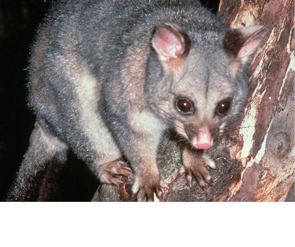 Possum Pest Control