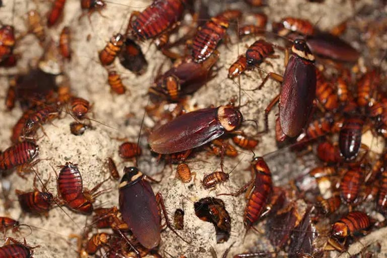 Cockroaches Are Becoming 'Almost Impossible' To Kill