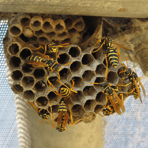 How to Get Rid of Wasp & their Nest?