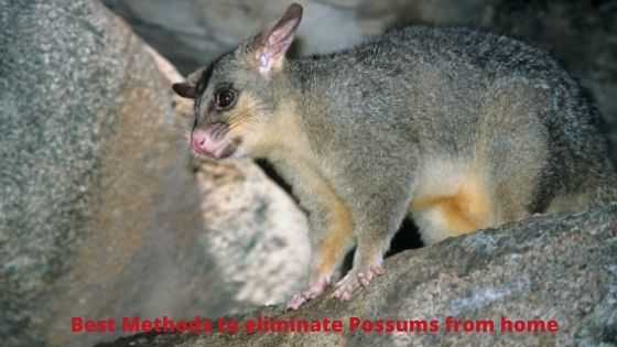 Best Methods to Eliminate Possums from Home