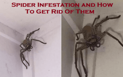 Spider Infestation and How ToGetRid Of Them