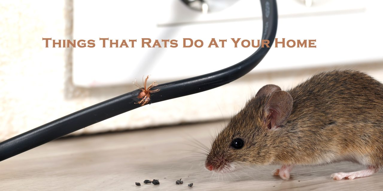 Things That Rats Do At Your Home
