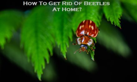How To Get Rid Of Beetles At Home?