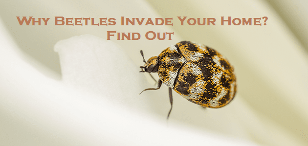 Why Beetles Invade Your Home? – Find Out