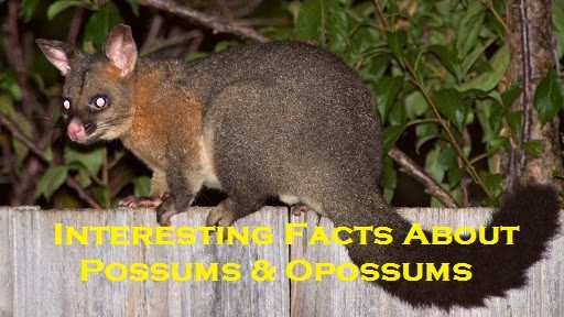 Interesting Facts About Possums & Opossums