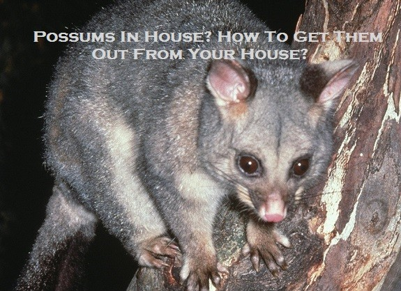 Possums In House? How To Get Them Out From Your House?