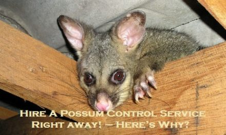 Hire A Possum Control Service Right away! – Here's Why?