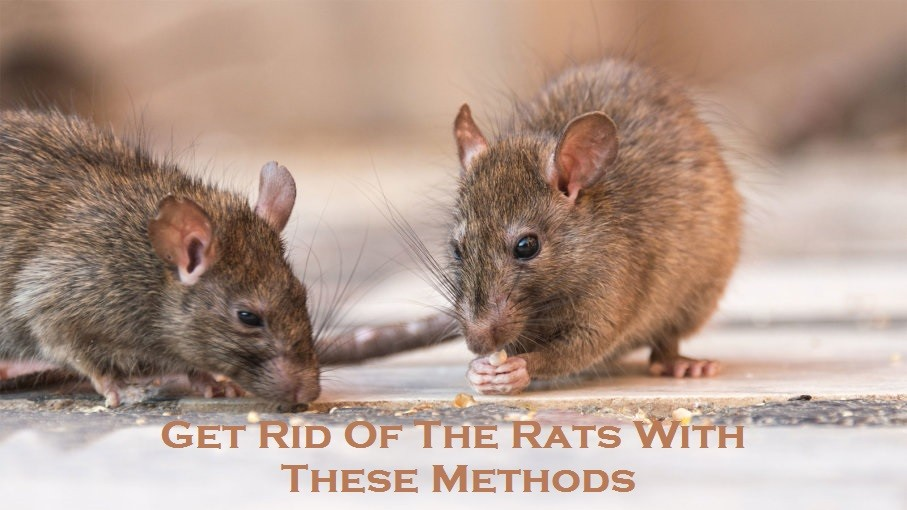 Get Rid Of The Rats With These Methods