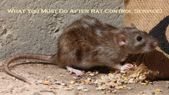 What You Must Do After Rat Control Service?