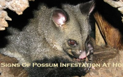 4 Signs Of Possum Infestation At Home