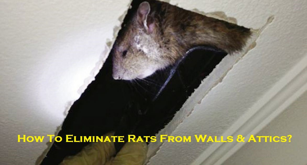 How To Eliminate Rats From Walls & Attics?