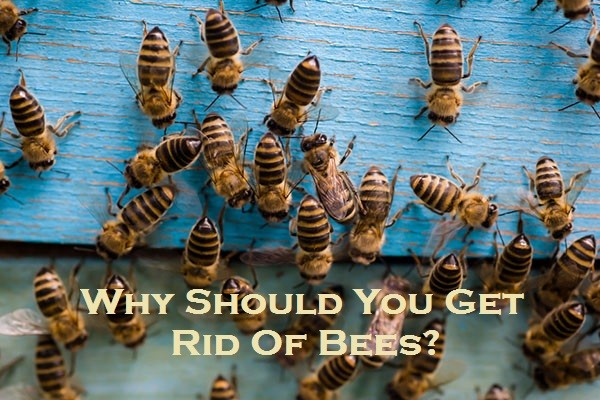 Why Should You Get Rid Of Bees?