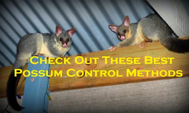 Check Out These Best Possum Control Methods