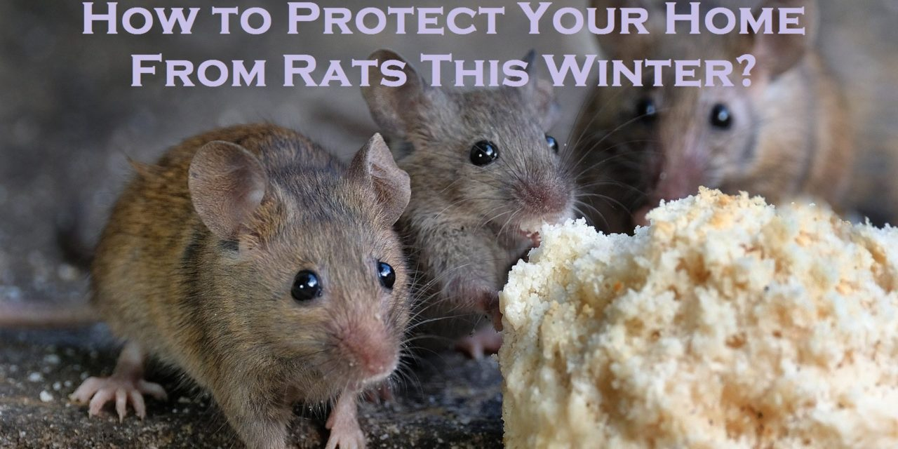 How to Protect Your Home From Rats This Winter?