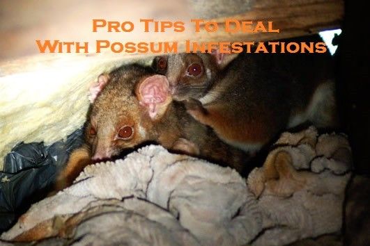 Pro Tips To Deal With Possum Infestations