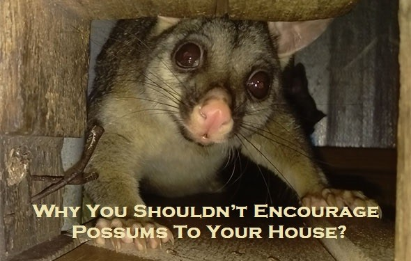 Why You Shouldn't Encourage Possums To Your House?