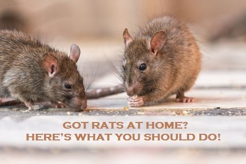 Got Rats At Home? Here's What You Should Do!