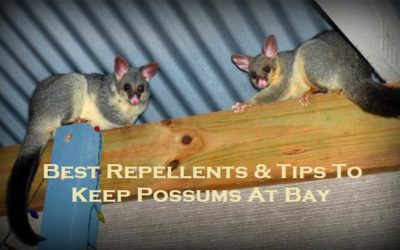 Best Repellents & Tips To Keep Possums At Bay