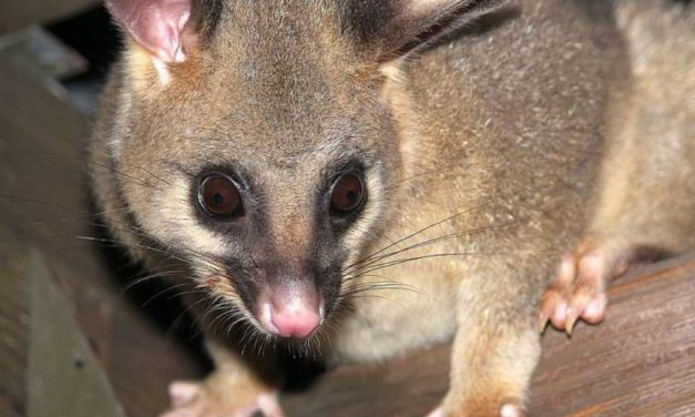 Don't Make Your House Possum-Friendly – Here's Why?
