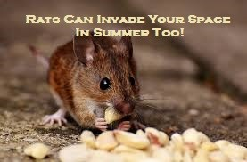 Rats Can Invade Your Space In Summer Too!