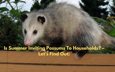 Is Summer Inviting Possums To Households? – Let's Find Out!