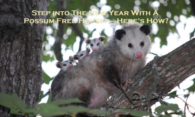 Step into The New Year With A Possum-Free House! – Here's How?                                                                                                                                                                                                                                                                                                                                                                                                                                                                                                                                                                                                                                                                                                                                                                                                                                                                                                                                                                                                                                                                                                                                                                                                                                                                                                                                                                                                                                                                                                                                                                                                                                                                                                                                                                                                                                                                                                                                                                                                                                                                                                                                                                                                                                                                                                                                                                                                                                                                                                                                                                                                                                                                                                                                                                                                                                                                                                                                                                                                                                                                                                                                                                                                                                                                                                                                                                                                                                                                                                                                                                                                                                                                                                                                                                                                                                                                                                                                                                                                                                                                                                                                                                                                                                                                                                                                                                                                                                                                                                                                                                                                                                                                                                                                                                                                                                                                                                                                                                                                                                                                                                                                                                                                                                                                                                                                                                                                                                                                                                                                                                                                                                                                                                                                                                                                                                                                                                                                                                                                                                                                                                                                                                                                                                                                                                                                                                                                                                                                                                                                                                                                                                                                                                                                                                                                                                                                                                                                                                                                                                                                                                                                                                                                                                                                                                                                                                                                                                                                                                                                                                                                                                                                                                                                                                                                                                                                                                                                                                                                                                                                                                                                                                                                                                                                                                                                                                                                                                                                                                                                                                                                                                                                                                                                                                                                                                                                                                                                                                                                                                                                                                                                                                                                                                                                                                                                                                                                                                                                                                                                                                                                                                                                                                                                                                                                                                                                                                                                                                                                                                                                                                                                                                                                                                                                                                                                                                                                                                                                                                                                                                                                                                                                                                                                                                                                                                                                                                                                                                                                                                                                                                                                                                                                                                                                                                                                                                                                                                                                                                                                                                                                                                                                                                                                                                                                                                                                                                                                                                                                                                                                                                                                                                                                                                                                                                                                                                                                                                                                                                                                                                                                                                                                                                                                                                                                                                                                                                                                                                                                                                                                                                                                                                                                                                                                                                                                                                                                                                                                                                                                                                                                                                                                                                                                                                                                                                                                                                                                                                                                                                                                                                                                                                                                                                                                                                                                                                                                                                                                                                                                                                                                                                                                                                                                                                                                                                                                                                                                                                                                                                                                                                                                                                                                                                                                                                                                                                                                                                                                                                                                                                                                                                                                                                                                                                                                                                                                                                                                                                                                                                                                                                                                                                                                                                                                                                                                                                                                                                                                                                                                                                                                                                                                                                                                                                                                                                                                                                                                                                                                                                                                                                                                                                                                                                                                                                                                                                                                                                                                                                                                                                                                                                                                                                                                                                                                                                                                                                                                                                                                                                                                                                                                                                                                                                                                                                                                                                                                                                                                                                                                                                                                                                                                                                                                                                                                                                                                                                                                                                                                                                                                                                                                                                                                                                                                                                                                                                                                                                                                                                                                                                                                                                                                                                                                                                                                                                                                                                                                                                                                                                                                                                                                                                                                                                                                                                                                                                                                                                                                                                                                                                                                                                                                                                                                                                                                                                                                                                                                                                                                                                                                                                                                                                                                                                                                                                                                                                                                                                                                                                                                                                                                                                                                                                                                                                                                                                                                                                                                                                                                                                                                                                                                                                                                                                                                                                                                                                                                                                                                                                                                                                                                                                                                                                                                                                                                                                                                                                                                                                                                                                                                                                                                                                                                                                                                                                                                                                                                                                                                                                                                                                                                                                                                                                                                                                                                                                                                                                                                                                                                                                                                                                                                                                                                                                                                                                                                                                                                                                                                                                                                                                                                                                                                                                                                                                                                                                                                                                                                                                                                                                                                                                                                                                                                                                                                                                                                                                                                                                                                                                                                                                                                                                                                                                                                                                                                                                                                                                                                                                                                                                                                                                                                                                                                                                                                                                                                                                                                                                                                                                                                                                                                                                                                                                                                                                                                                                                                                                                                                                                                                                                                                                                                                                                                                                                                                                                                                                                                                                                                                                                                                                                                                                                                                                                                                                                                                                                                                                                                                                                                                                                                                                                                                                                                                                                                                                                                                                                                                                     Step into The New Year With A Possum-Free House! – Here's How?