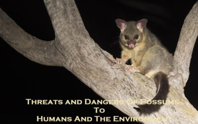 Threats and Dangers Of Possums To Humans And The Environment