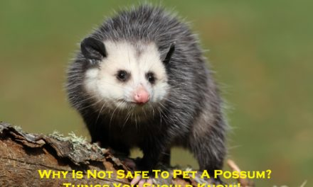 Why Is Not Safe To Pet A Possum? – Things You Should Know!