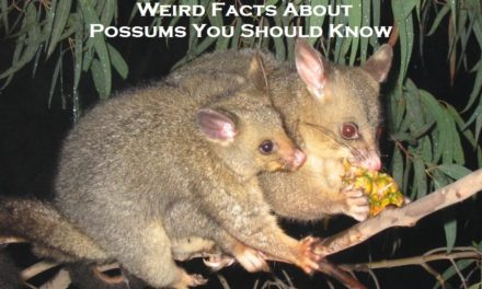 Weird Facts About Possums You Should Know