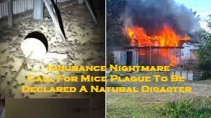 Insurance Nightmare – Call For Mice Plague To Be Declared A Natural Disaster
