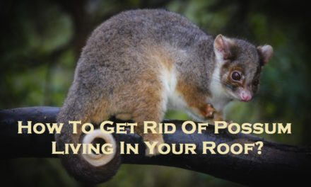 How To Get Rid Of Possum Living In Your Roof?