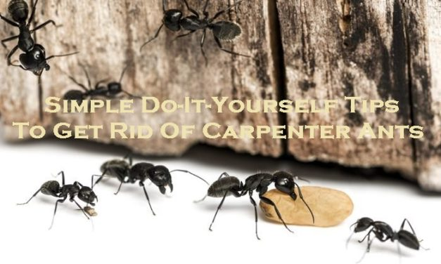 Simple Do-It-Yourself Tips To Get Rid Of Carpenter Ants